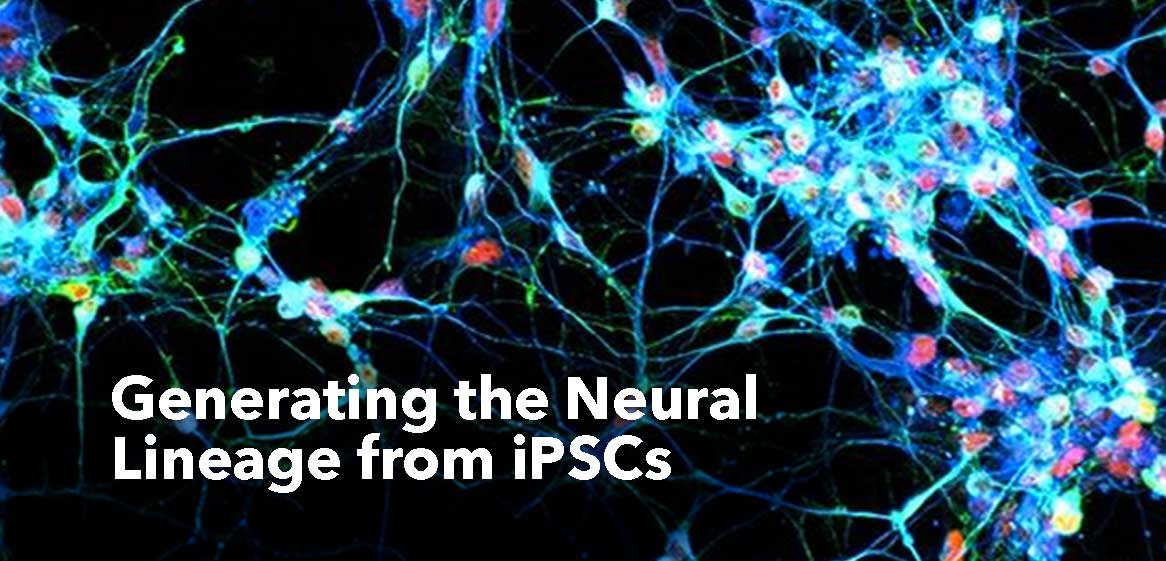 Neural-Lineage-iSPCs